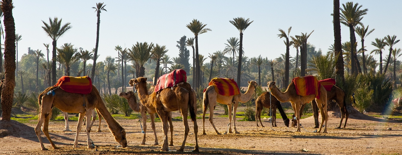 Camels in the Palmeraie of Marrakech